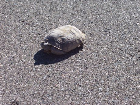 The Turtle that kept my husband and son waiting while crossing the road .at the Mojave Desert